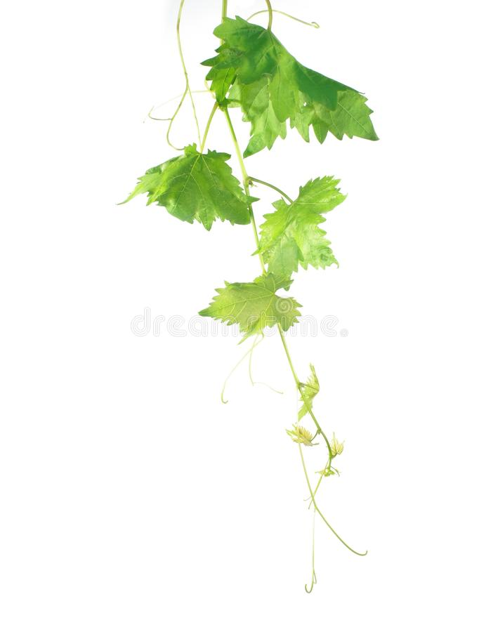 Free Grape Leaf Royalty Free Stock Images - 10550379