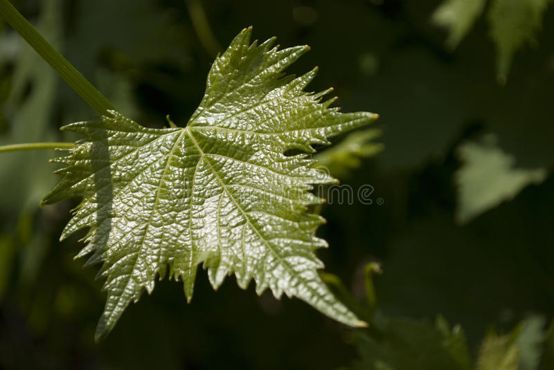 Download Grape leaf stock photo. Image of plants, plant, leaves - 11253542