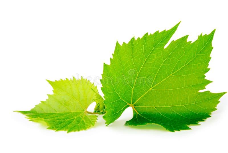Grape leaf stock image