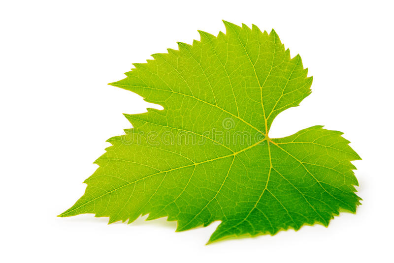 Download Grape leaf stock photo. Image of harvest, background - 19616502