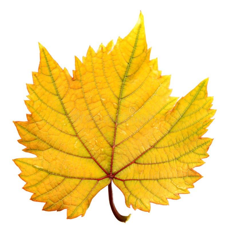 Download Grape leaf stock photo. Image of closeup, white, plant - 26282242