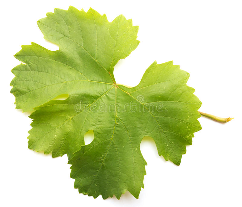 Download Grape leaf stock photo. Image of seasonal, farm, floral - 29299754