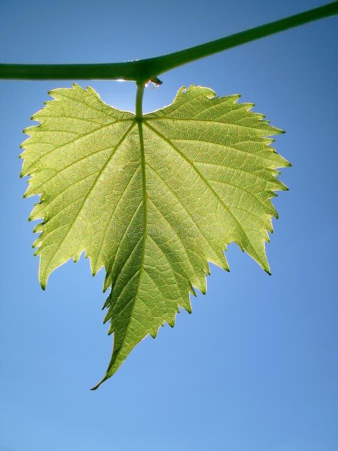 Grape leaf against the sky stock photography