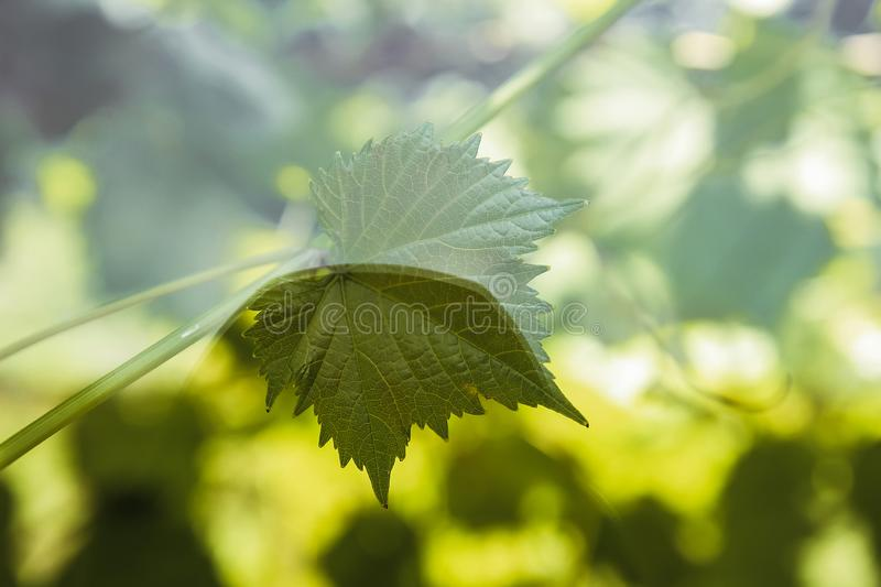 Grape leaf basks in the sun royalty free stock photo