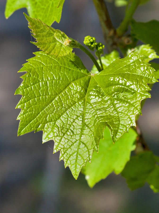 Grape leaf with blossoming buds stock image