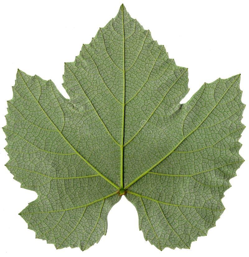 Grape leaf detail royalty free stock photo