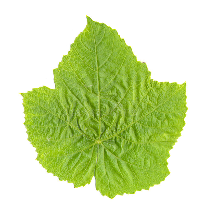 Download Grape Leaf isolated stock image. Image of white, scanned - 10038337
