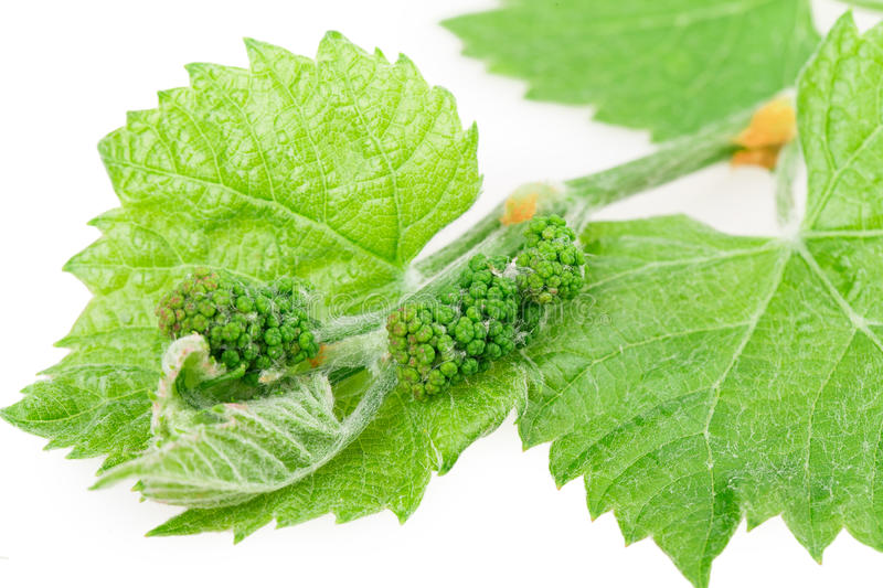Download Grape leaf stock photo. Image of nobody, isolated, nature - 32749014