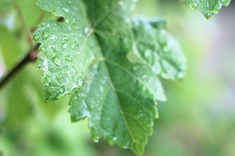 Grape leaf after rain in drops in the vineyard. Young, grapes, seasonal, garden, morning, close, up, bokeh, blurry, water, droplets, leaves, raindrop, outdoor royalty free stock photo