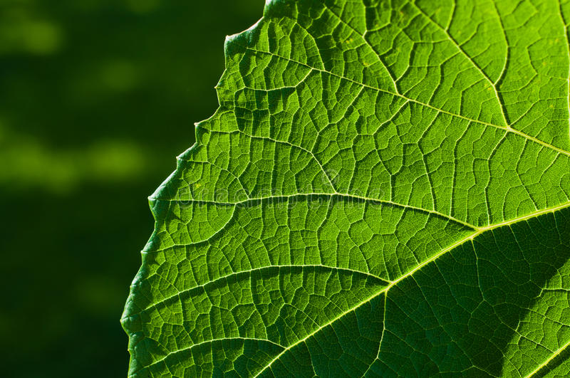 Download Grape Leaf Textured Part Front Stock Photo - Image: 26007914