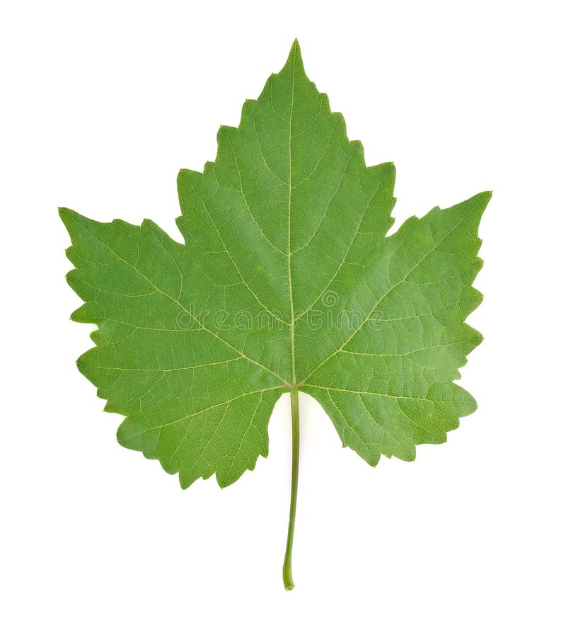 Grape leaf on white background. stock images