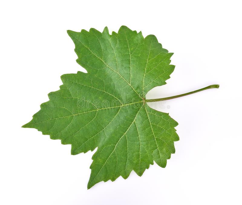 Grape leaf on white background royalty free stock images