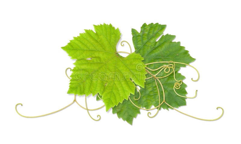 Download Grape leaves 03 stock illustration. Illustration of tendril - 1103349
