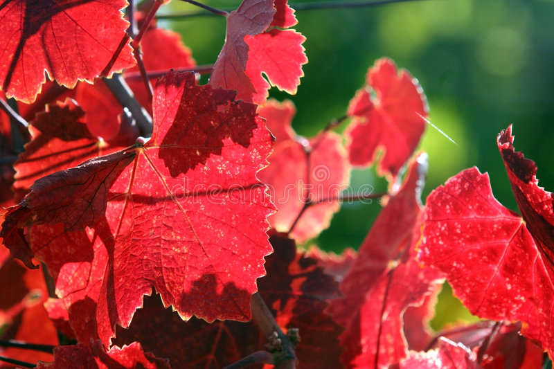 Download Grape leaves stock photo. Image of decor, grape, green - 1375372