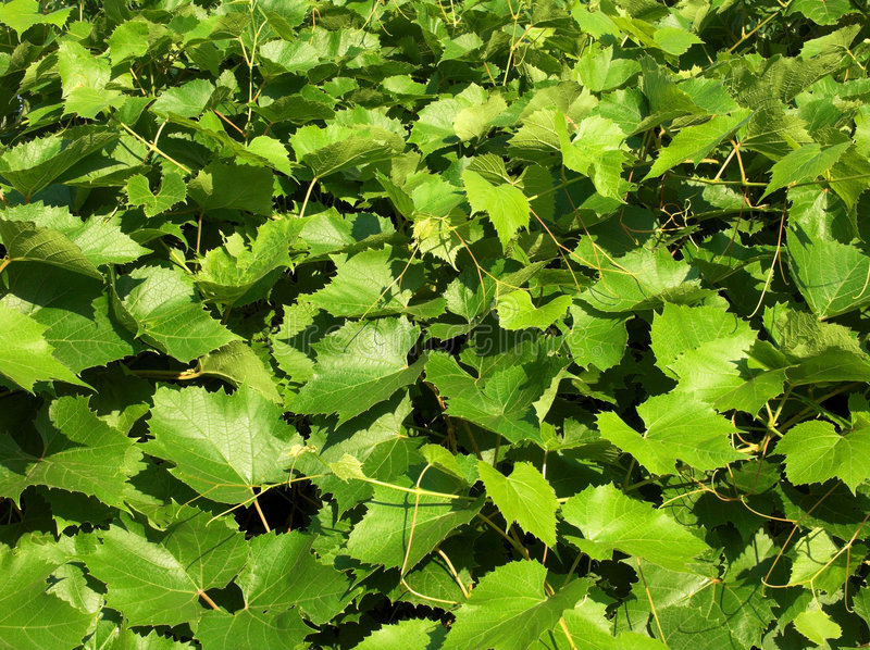 Download Grape leaves stock image. Image of plants, idea, green - 174545