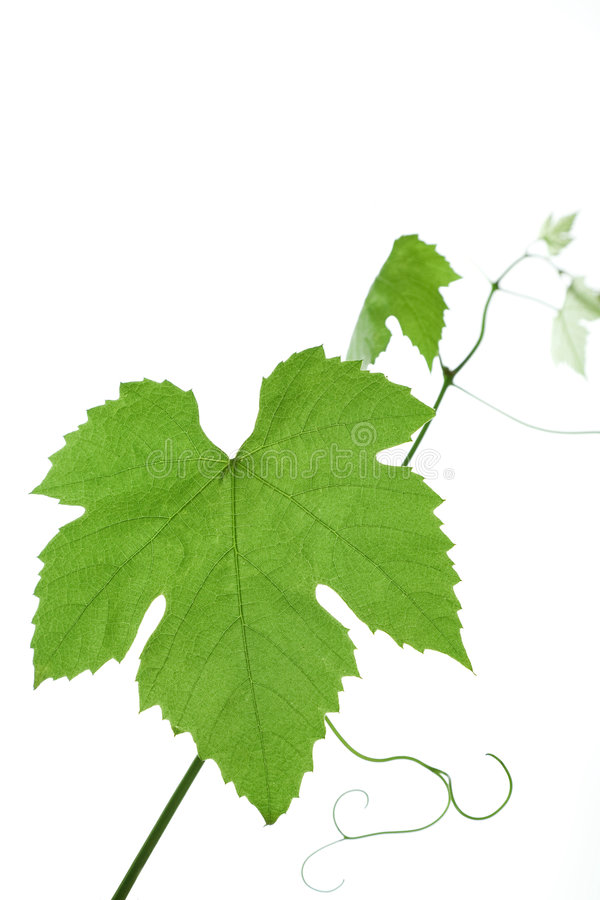 Download Grape-leaves stock photo. Image of green, background, swirl - 3031796