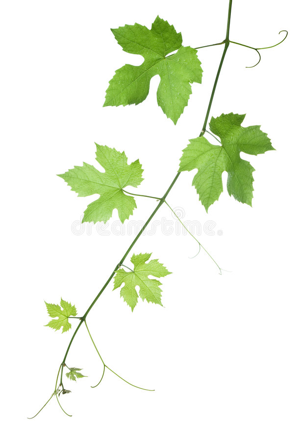 Grape-leaves royalty free stock photo