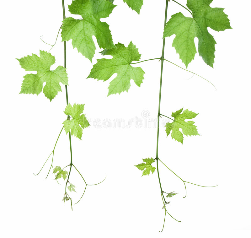 Grape-leaves stock image