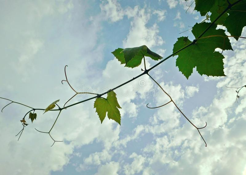 Grape leaves at cloudy sky royalty free stock images