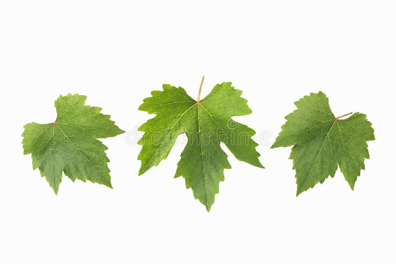 Grape leaves for decorate or background isolated on white royalty free stock image