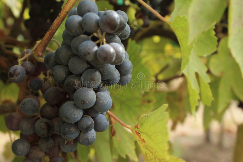 Grape with leaves in my vineyard stock images