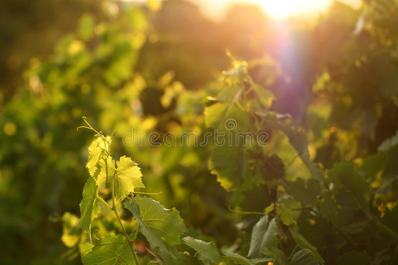 Download Grape leaves in sunset stock photo. Image of elements - 14785264