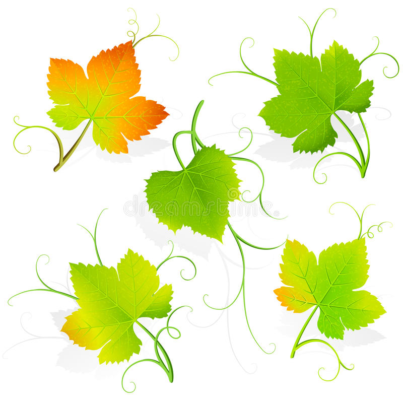 Download Grape leaves. Vector stock vector. Illustration of decoration - 26818432