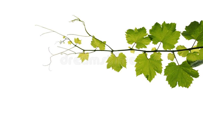 Grape leaves vine branch with tendrils isolated on white background, clipping path included. stock image