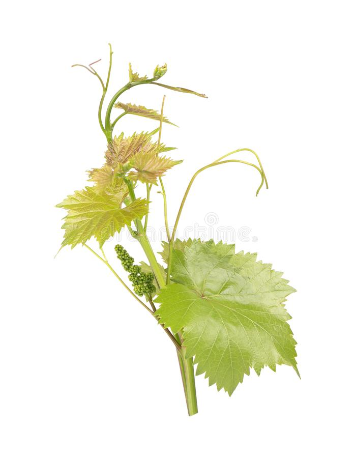 Grape leaves vine branch with tendrils, isolated on white background, clipping path included. Green branch of grape vine royalty free stock photography