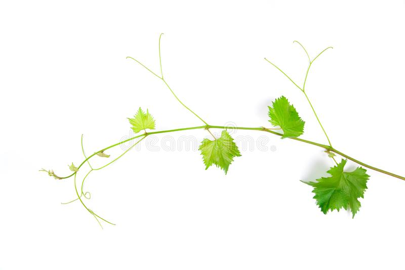 Grape leaves vine branch with tendrils tropical plant isolated on white background, clipping path included - Image stock images