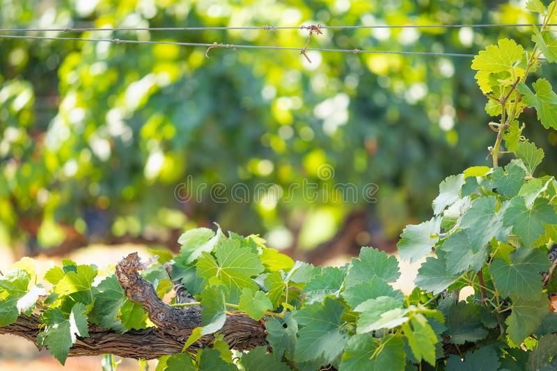 Grape Leaves and Vines Framing Blurry Room For Your Copy stock photo