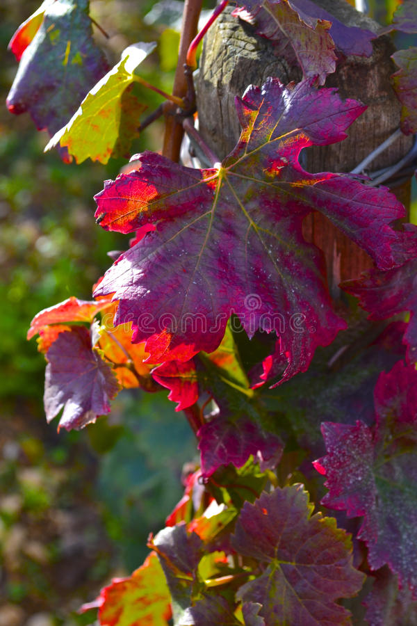 Fall Grape Leaves royalty free stock photo