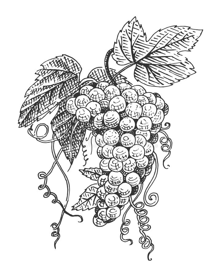 Grape with leaves for wine engraved illustration in old vintage style, hand drawn stock illustration