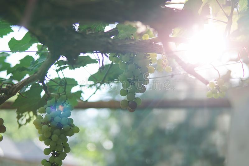Grape in Nan Nakhon, Thailand. Pua Nan is a small town located in far north Thailand stock images