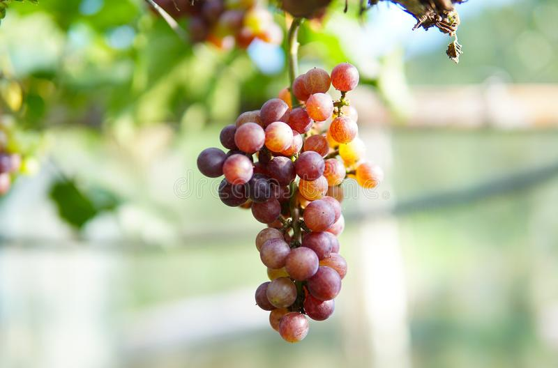 Grape in Nan Nakhon, Thailand. Pua Nan is a small town located in far north Thailand stock photography