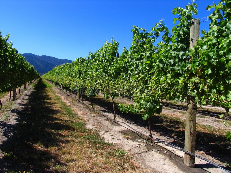Grape Orchard Related Keywords - Grape Orchard Long Tail ...