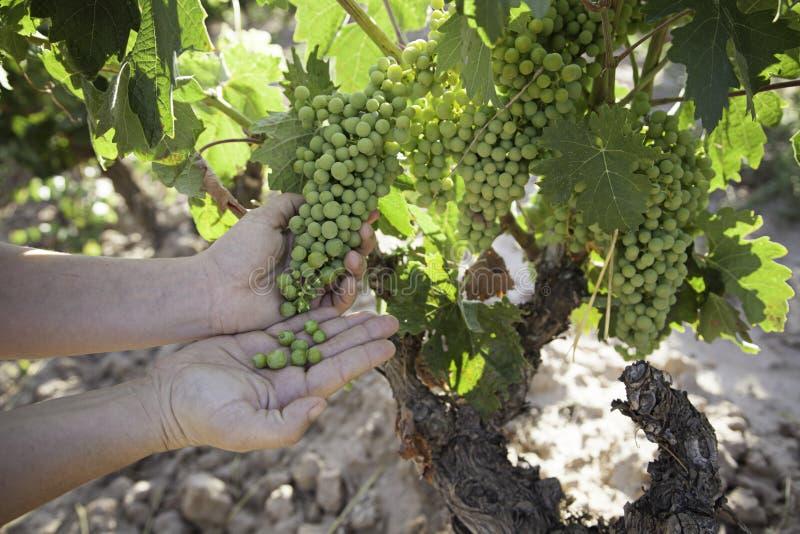 Grape picking field stock photography