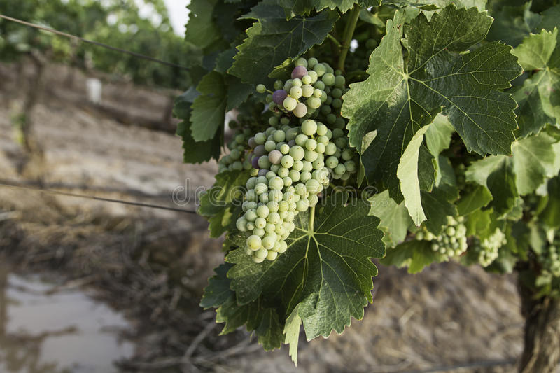 Grape picking field royalty free stock images