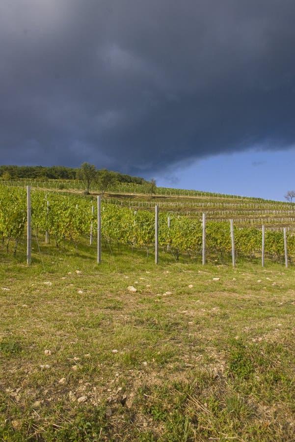 Grape plantation stock photos