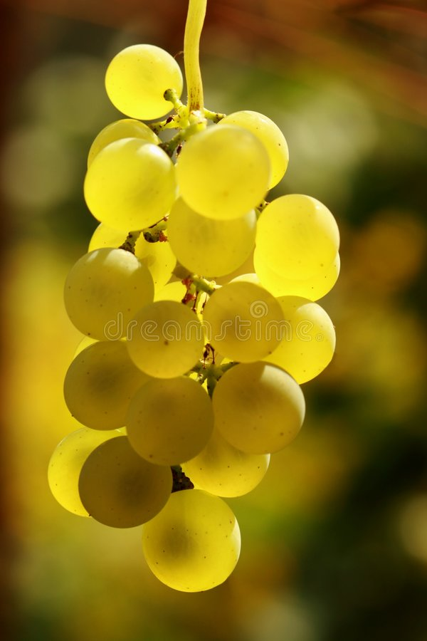 Download Grape ready for harvest stock photo. Image of agriculture - 3054064