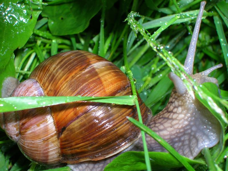 Grape snail stock photography
