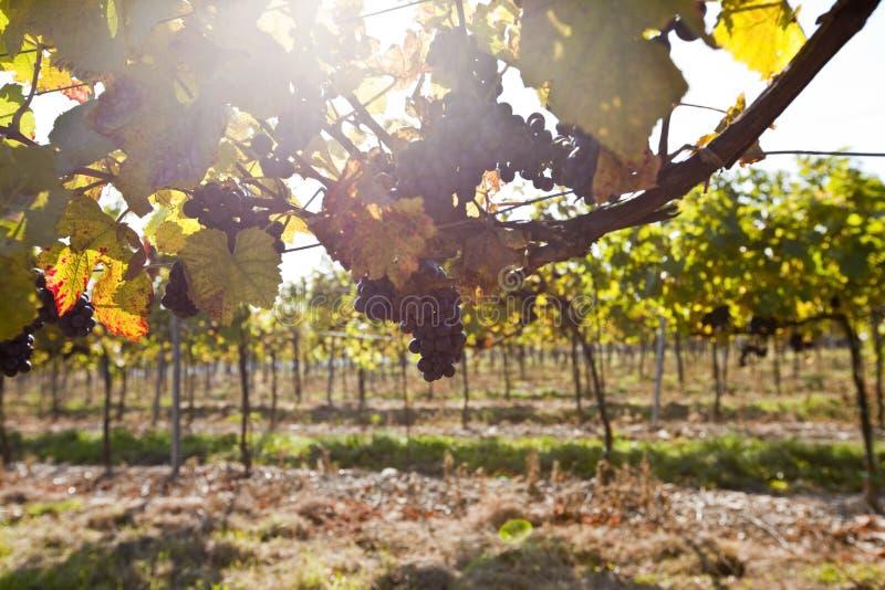 Download Grape in sunlight stock image. Image of winemaking, sunlight - 16434591