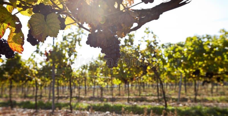 Download Grape in sunlight stock photo. Image of crop, close, grape - 16434602