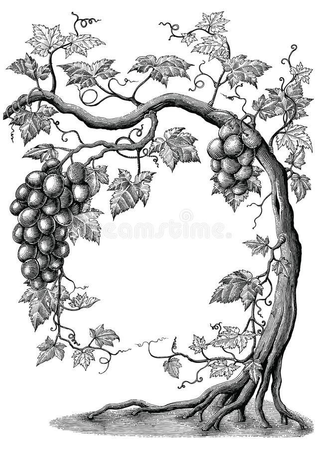 Grape tree hand drawing vintage engraving illustration on white. Background royalty free illustration