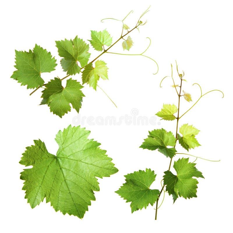 Download Grape Vine Stock Photos - Image: 15441683