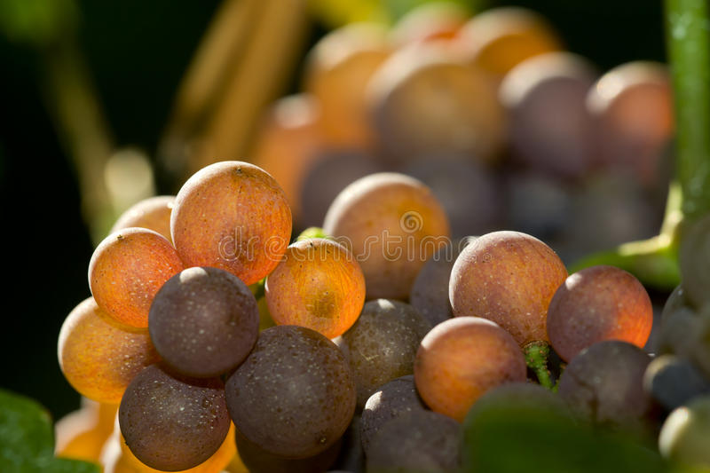 Grape on the vine stock photo