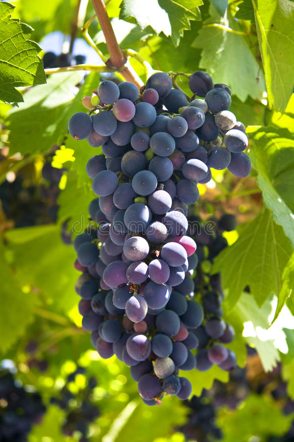 Download Grape vine stock image. Image of organic, season, leaves - 23004937