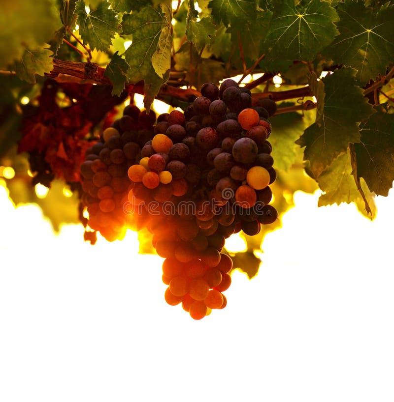 Free Grape Vine Stock Photos - 26505483