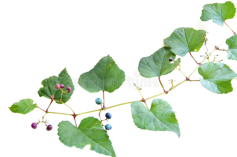 Grape vine from above royalty free stock image