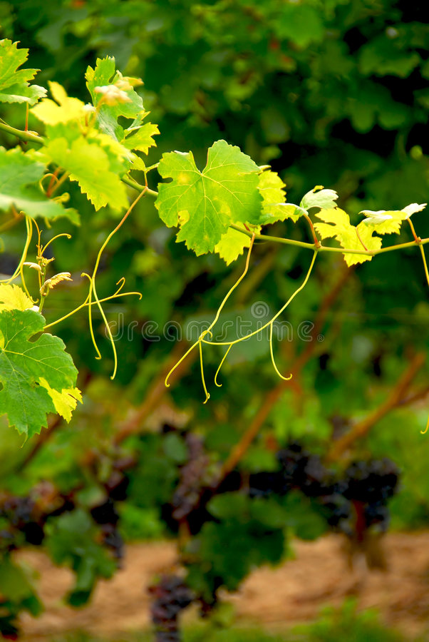 Grape vine branch stock photo